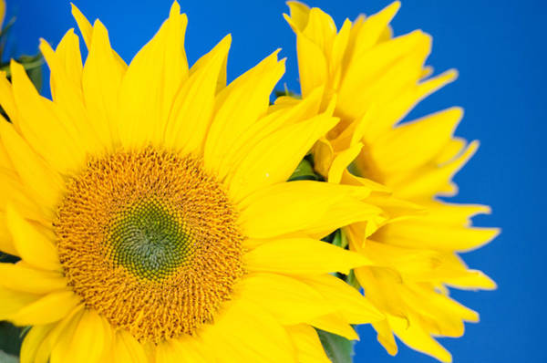 Photograph - Brilliant Sunflowers by Margaret Pitcher
