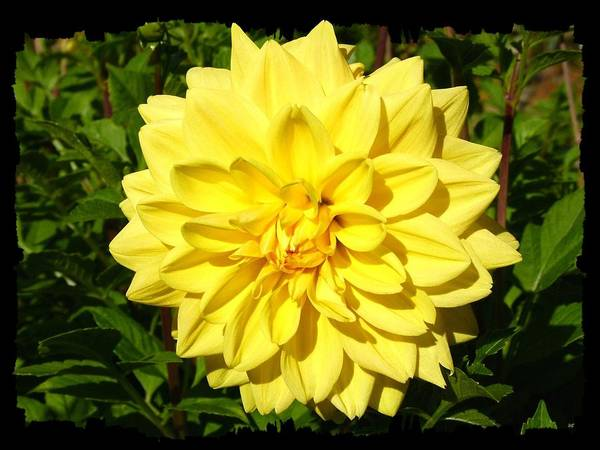 Flawless Photograph - Brilliant Yellow Dahlia by Will Borden