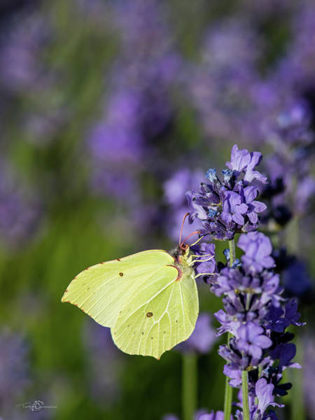 Brimstone Photograph - Brimstone Butterfly And The Lavender by Torbjorn Swenelius