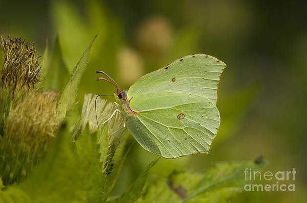 Brimstone Photograph - Brimstone Butterfly by Steen Drozd Lund