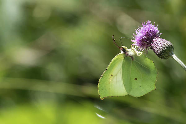 Photograph - Brimstone by Wendy Cooper