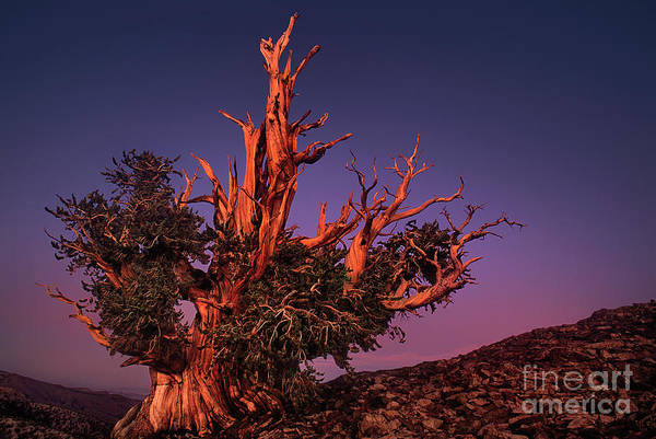 Photograph - Bristelcone Pine Pinus Longeava White Mountains California by Dave Welling