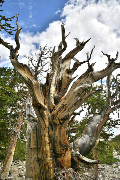 Photograph - Bristlecone Brute by Ray Mathis