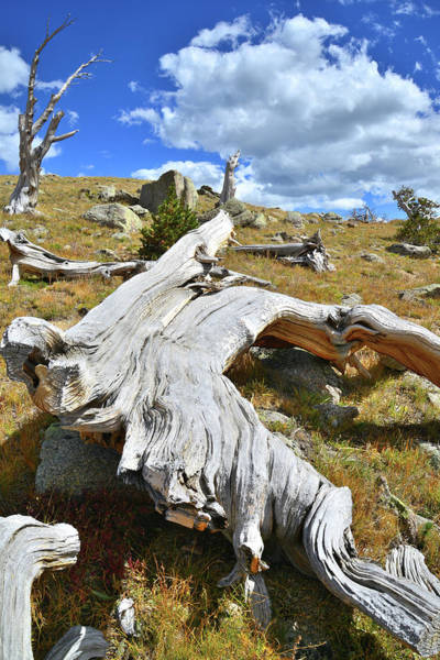 Photograph - Bristlecone Down by Ray Mathis