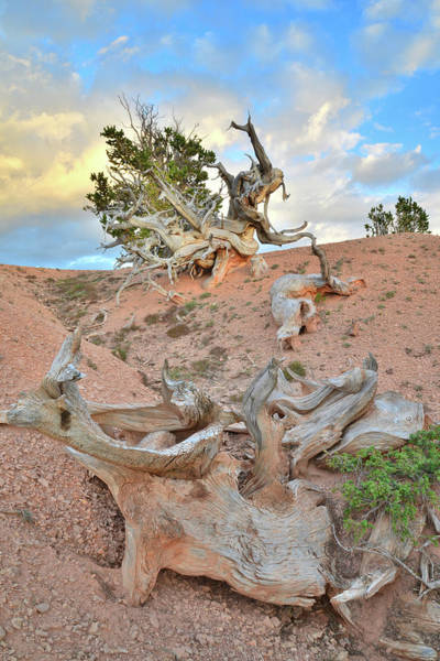 Photograph - Bristlecone Graveyard by Ray Mathis