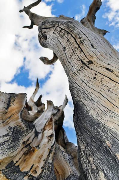 Photograph - Bristlecone Great Basin Portrait by Kyle Hanson