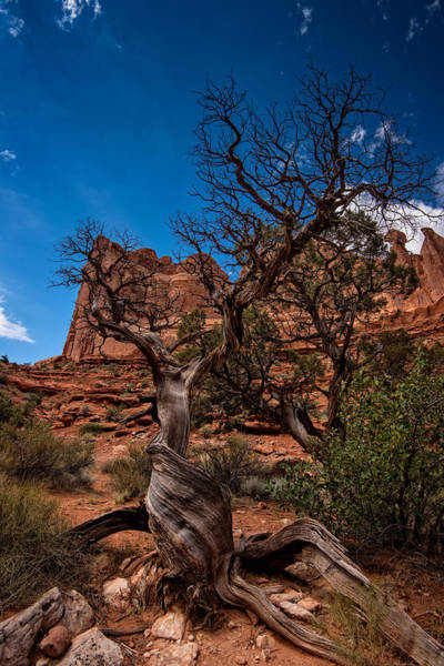Park Avenue Photograph - Bristlecone On Park Avenue by Rick Berk