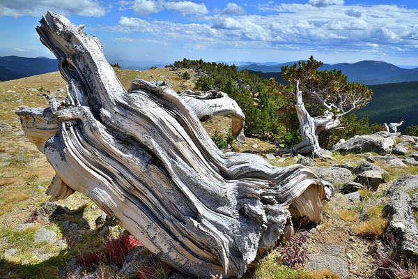Photograph - Bristlecone On Top Of The Mountain by Ray Mathis