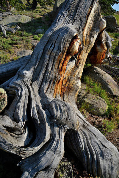 Photograph - Bristlecone Pine Detail On Mt. Goliath by Ray Mathis