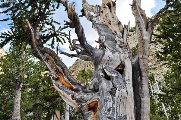 Photograph - Bristlecone Pine Nevada by Kyle Hanson