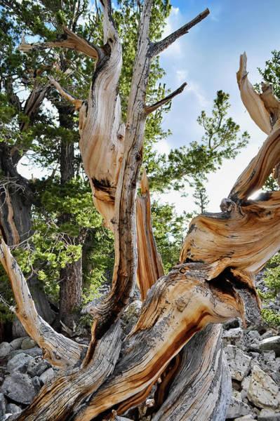 Photograph - Bristlecone Pine Portrait by Kyle Hanson