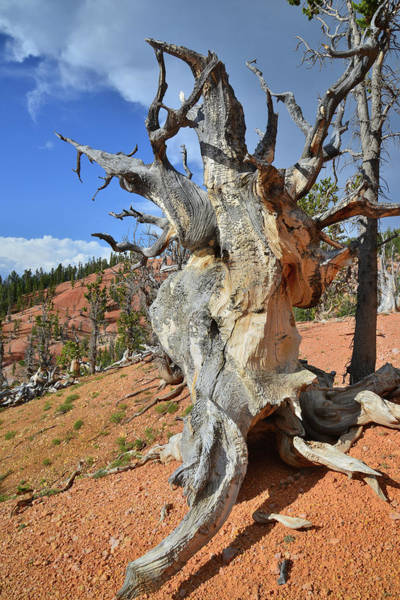 Photograph - Bristlecone Pine by Ray Mathis