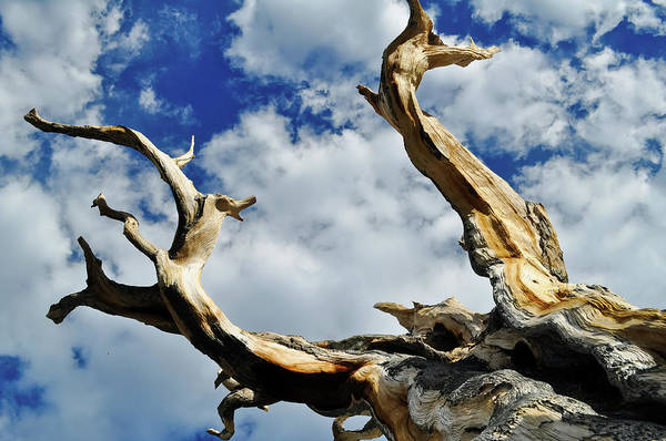 Photograph - Bristlecone Pine Sky by Kyle Hanson