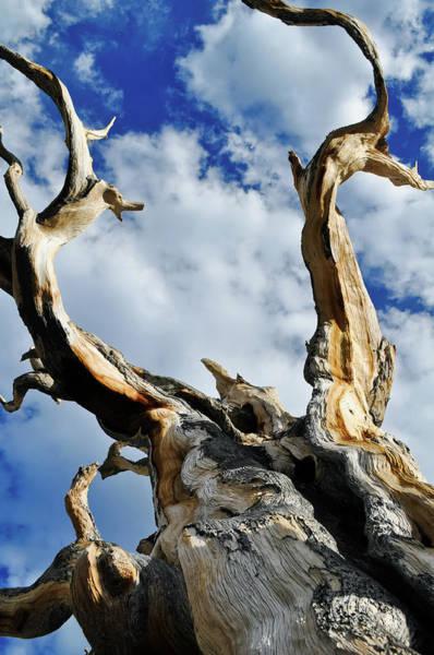 Photograph - Bristlecone Pine Sky Portrait by Kyle Hanson