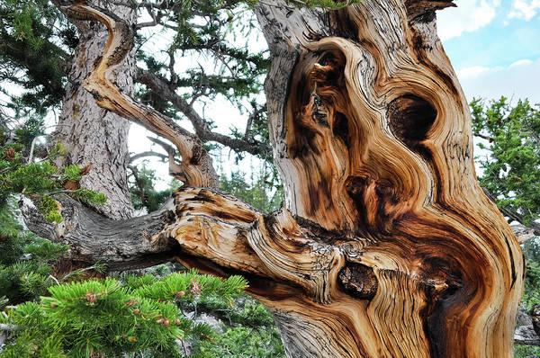Photograph - Bristlecone Pine Tree by Kyle Hanson