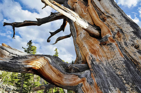 Photograph - Bristlecone Pine Tree Landscape by Kyle Hanson