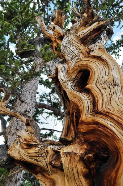 Photograph - Bristlecone Pine Tree Portrait by Kyle Hanson