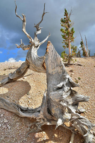 Photograph - Bristlecone Spine by Ray Mathis