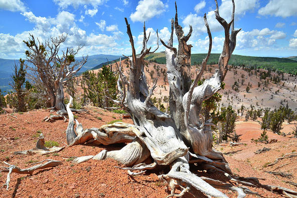 Photograph - Bristlecone Throne by Ray Mathis
