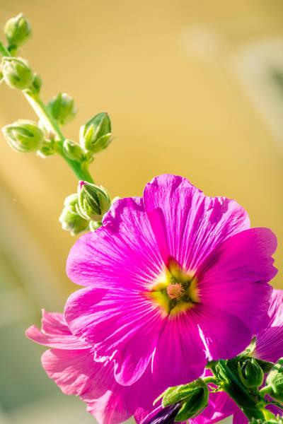 Alcea Photograph - Bristly Hollyhock Alcea Setosa by Meir  Jacob