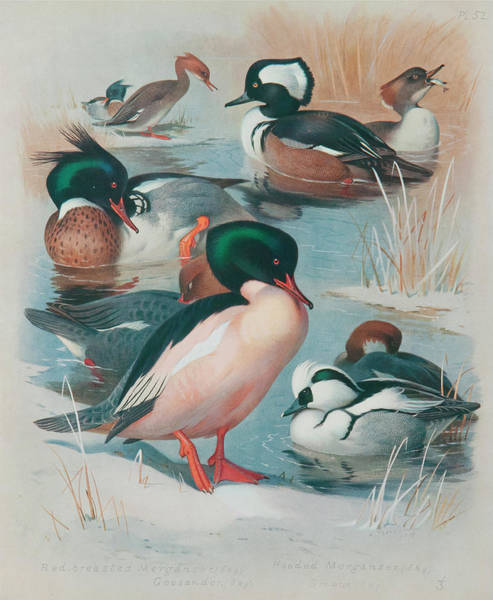 Wall Art - Painting - British Birds by Archibald Thorburn