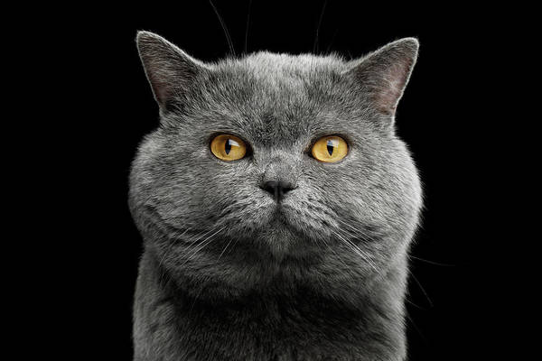 Photograph - British Cat With Big Wide Face by Sergey Taran