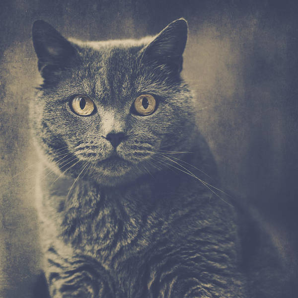 Wall Art - Photograph - British Shorthair Portrait 1 by Wolf Shadow Photography