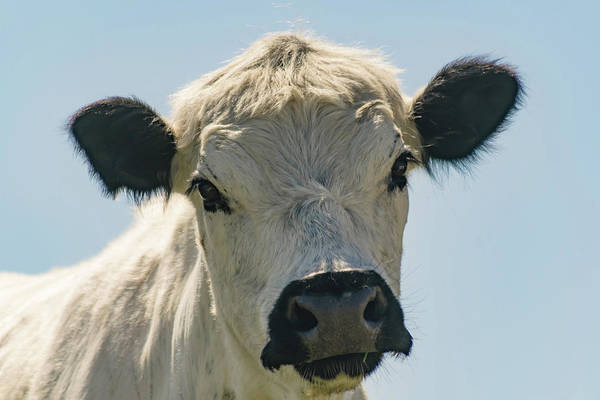 Live Stock Photograph - British White Cow by Warren Bourne
