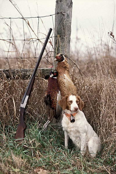 Spaniel Photograph - Brittany And Pheasants - Fs000757b by Daniel Dempster