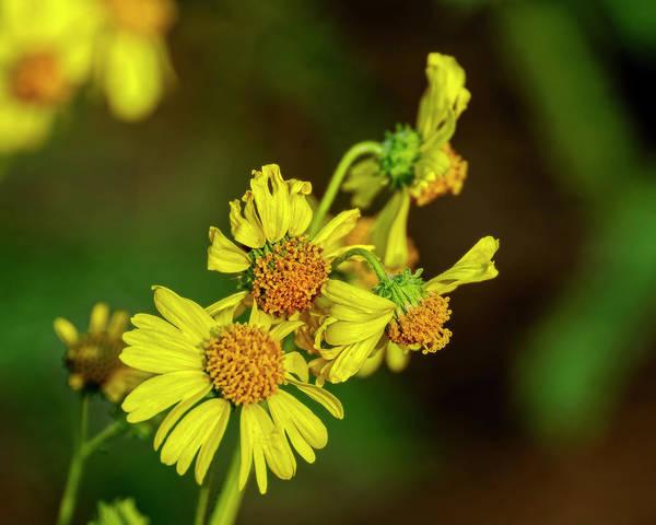 Photograph - Brittlebush Flowers H1823 by Mark Myhaver