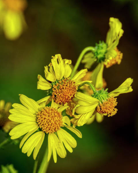 Photograph - Brittlebush Flowers V1823 by Mark Myhaver