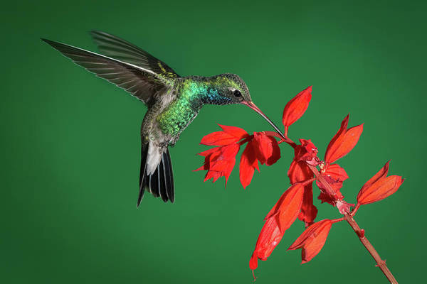 Photograph - Broad-billed Hummingbird  by James Capo