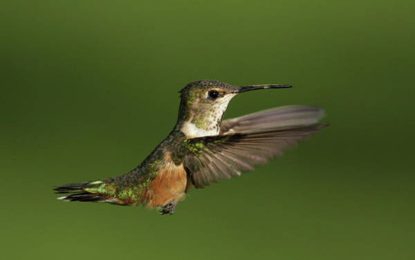 Photograph - Broad Tail Hummer by Ronnie and Frances Howard