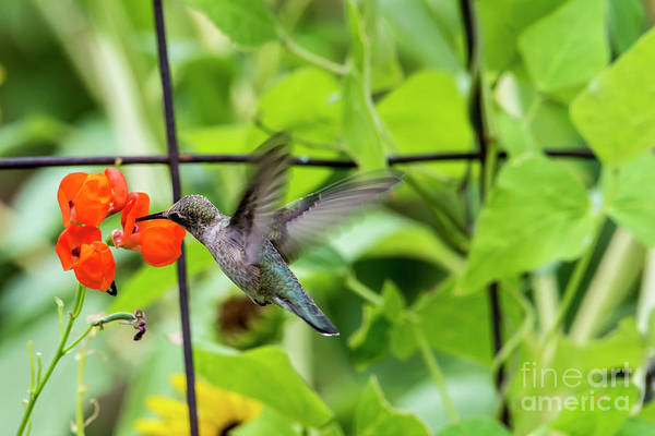 Broad-tailed Hummingbird Photograph -  Broad-tailed Hummingbird 2 - Utah by Gary Whitton