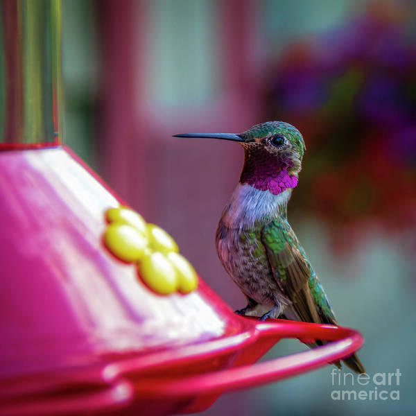 Photograph - Broad Tailed Hummingbird by Jon Burch Photography
