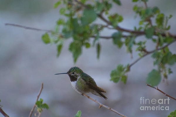 Photograph - Broadtailed Hummingbird by James Hennis