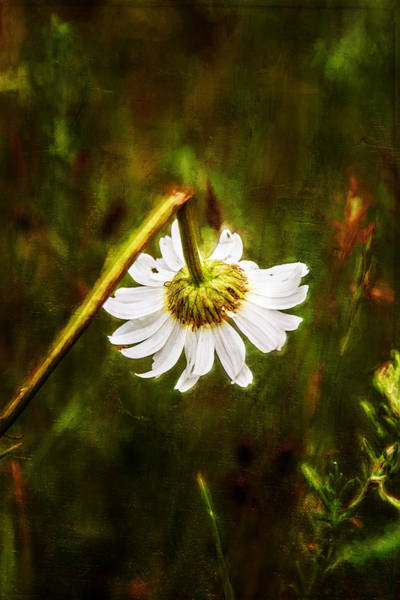 Painting - Broken Hearted Oxeye Daisy Asteraceae  by Christina VanGinkel