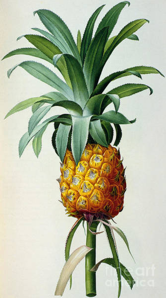 Tropical Drawing - Bromelia Ananas, From 'les Bromeliacees' by Pierre Joseph Redoute