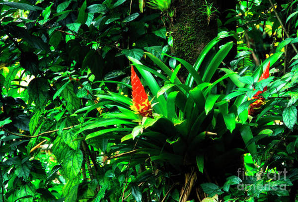 Photograph - Bromeliads El Yunque  by Thomas R Fletcher