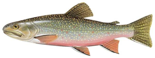 Ichthyology Wall Art - Painting - Brook Trout by American School