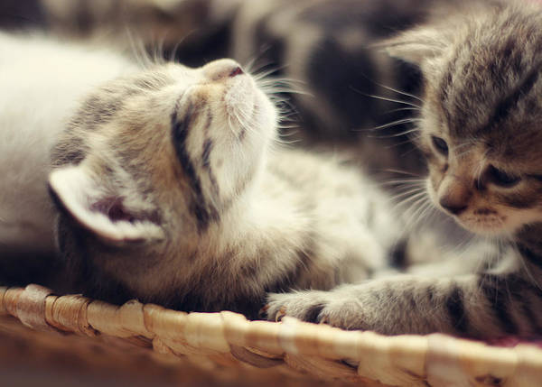 Cute Kitten Photograph - Brotherly Love by Amy Tyler