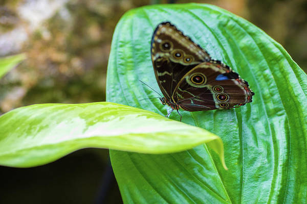 Photograph - Brown And Blue Butterfly by Raphael Lopez
