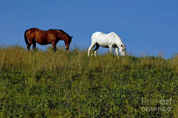 Wall Art - Photograph - Brown And White Horse Grazing Together In A Grassy Field by Sami Sarkis