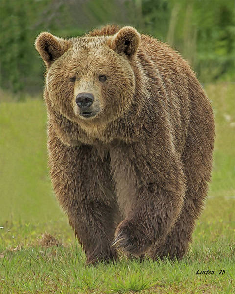 Digital Art - Brown Bear 1 by Larry Linton