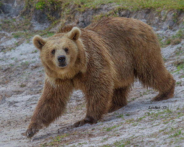 Photograph - Brown Bear 3 by Larry Linton