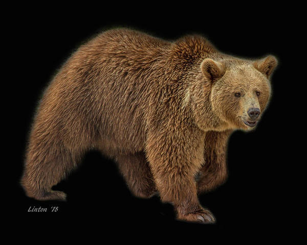 Photograph - Brown Bear 5 by Larry Linton