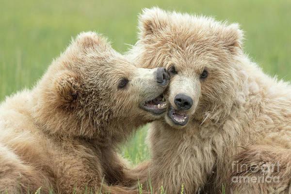Dancing Bears Photograph - Brown Bear Cubs by Linda D Lester