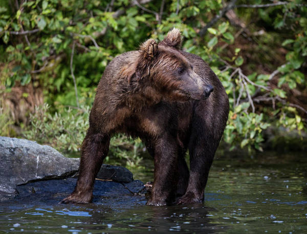 Photograph - Brown Bear by Gloria Anderson