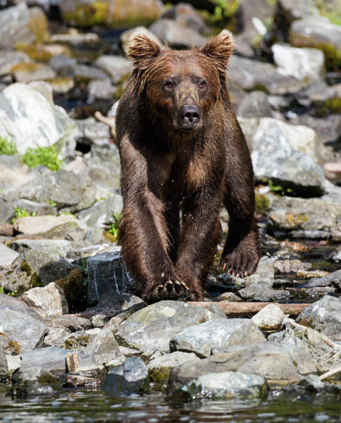 Photograph - Brown Bear On The Rocks By The Water by Gloria Anderson