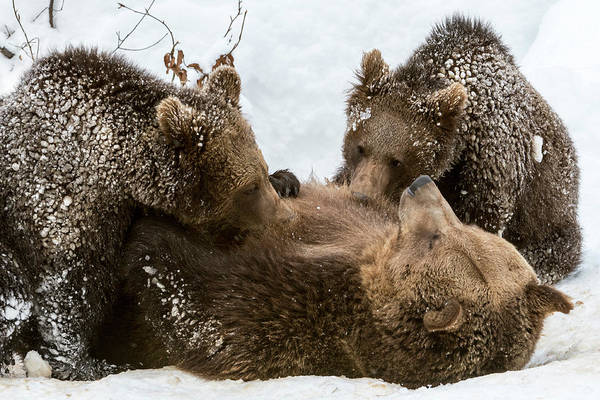 Photograph - Brown Bear Suckling Cubs by Arterra Picture Library